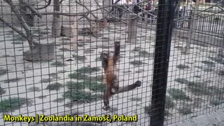 Monkeys | Zoolandia in Zamość, Poland - Video