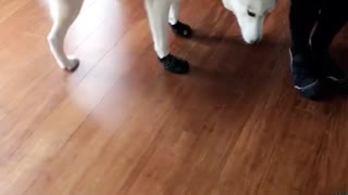 White dog hates booties