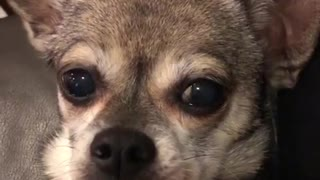 Small brown chihuahua dog looks into camera while getting pet
