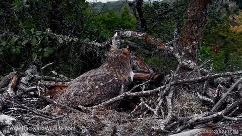 A great horned owl evicting a raccoon from the owl nest