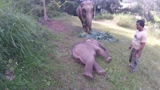 Baby Elephant falls over and can't get back up (Hilarious and cute)  - Video