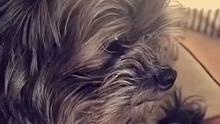 Small dog with mohawk hair  - Video