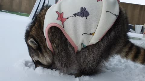 Pet raccoon hunts for almonds buried in the snow