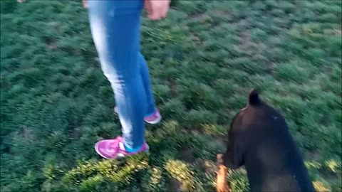 German Shepherd Puppy Dog go to dog park first time making new friends