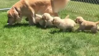 New puppies play with Mommy