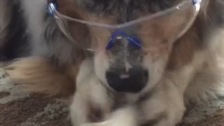 Dog wearing safety goggles while eating bone treat - Video
