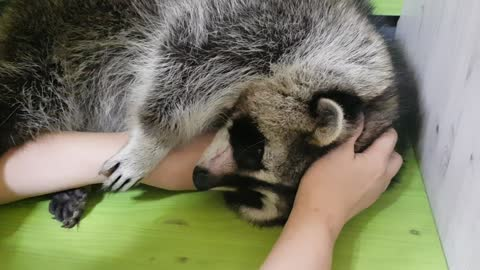 Raccoon discriminates against mother and brother