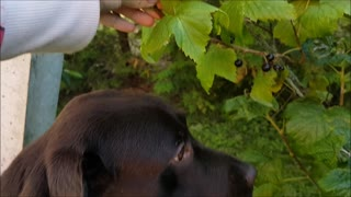 Labrador eats blackcurrants  - Video