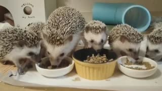 Hedgehog Family Eats Meal Together Today evening