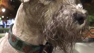 White dog covered in mud looking around - Video