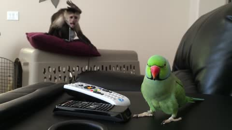 Monkey Has Mind Blown By Talking Parrot