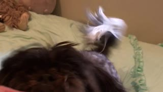 Brown dog running on top of bed