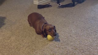 Defensive Dachshund Doesn't Like To Share