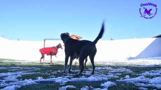 Coolwag dogs playing in the melting snow and Lucy Lou licking the camera