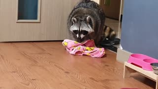 Raccoon undresses himself before going to bed.
