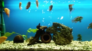 Aquarium ciklidi fish - Video