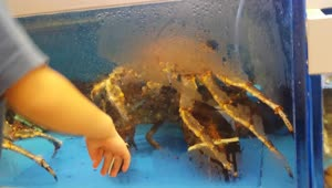 Epic fight between lobster and king crab - Video