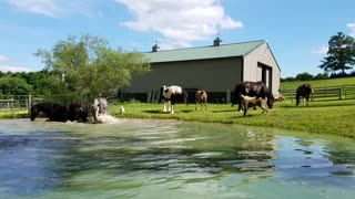 Horses having fun cooling off in pond