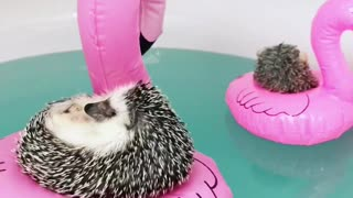 Check out these super-relaxed hedgehogs chill on flamingo floaties! - Video