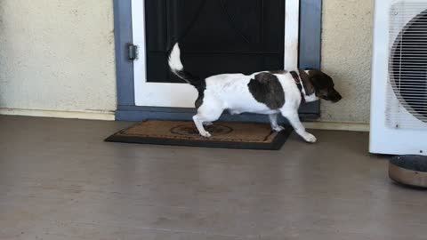 Small brown white dog stretches on door mat