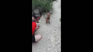 Friendly wild fox snacks on energy bar - Video