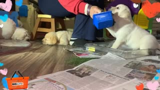 Little 4-week-old Labrador trains to be a service dog