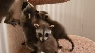 Rescued Baby Raccoons are Ready to Eat