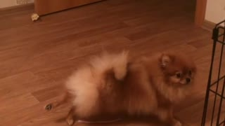 Pomeranian shows off hilarious yoga moves