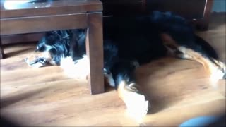 Sleeping dog tiptoes in his sleep - Video