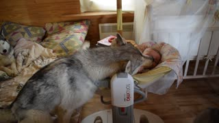 Husky is indispensable when caring for a baby