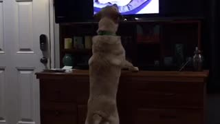 Labrador attempts to befriend dogs on TV