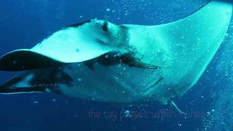 Giant Manta Rays Fly Among Divers Like Jet Fighters