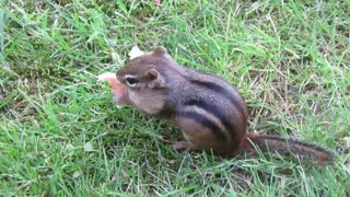 Chipmunk Stuffs It's Face With Bread