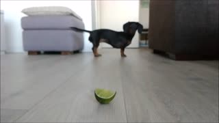Dachshund freaks out over slice of lime - Video