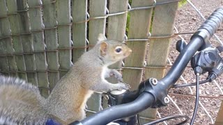 So I Thought This Squirrel Just Wanted To Check Out My Bike... - Video
