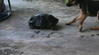 Turtle Takes on Two Dogs