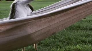 Cute baby goat chills out on hammock