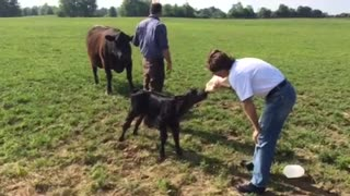 Malnourished calf with a serious thirst