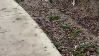 White dog tries to jump ravine and fails near sidwalk - Video