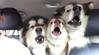 Out Of Tune Malamutes Sing In 'Perfect' Harmony - Video