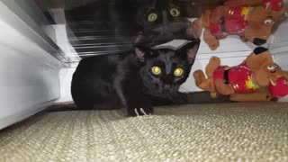2 Black Cats play in window behind the couch  - Video