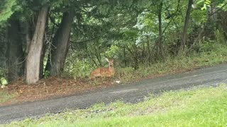 Fawn Patiently Waits Under A Tree In Heavy Rain Storm