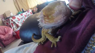 Itchy Bearded Dragon, SO CUTE!  - Video