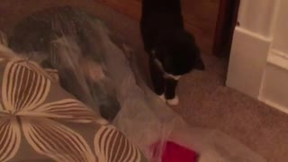 Black and white cat scared by shocker firework - Video
