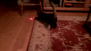 Cat with laser pointer on head - Video