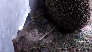 Hedgehog mother looking for place for her kids