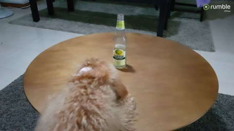 Dog goes round and round table trying to get paws on bottle