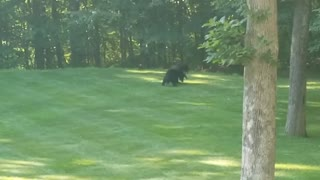 Bears Use Backyard as Wrestling Arena