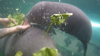 Manatee Munches down First Solid Meal