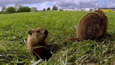 Baby groundhogs can't resist the camera at their burrow entrance
